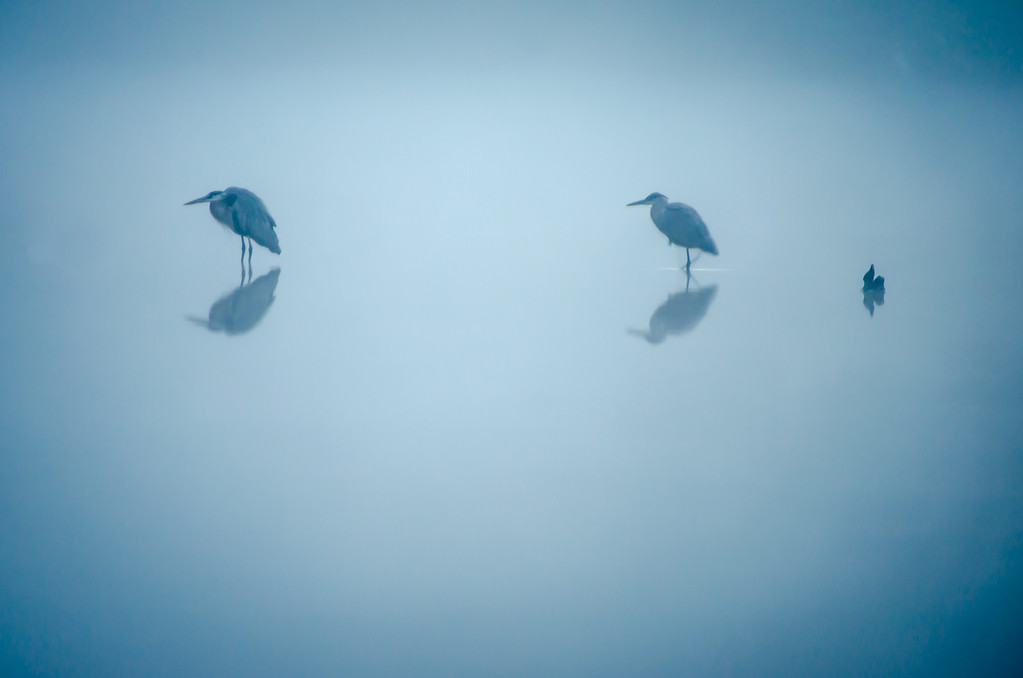 Great Blue Herons - Through the Fog