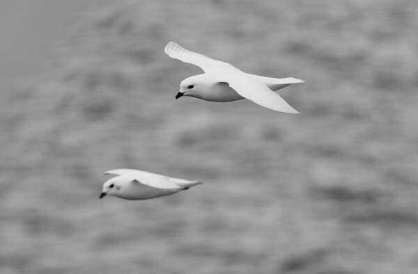 Snow Petrels, South Orkney Islands<br /> A pair of Snow Petrels in close formation fly by. Taken from RRS James Clark Ross off the South Orkney Islands in November 2012 with a Canon 5Diii and EF70-200mm f2.8 lens. The exposure is 1/1000 sec at f/4.0; ISO 100