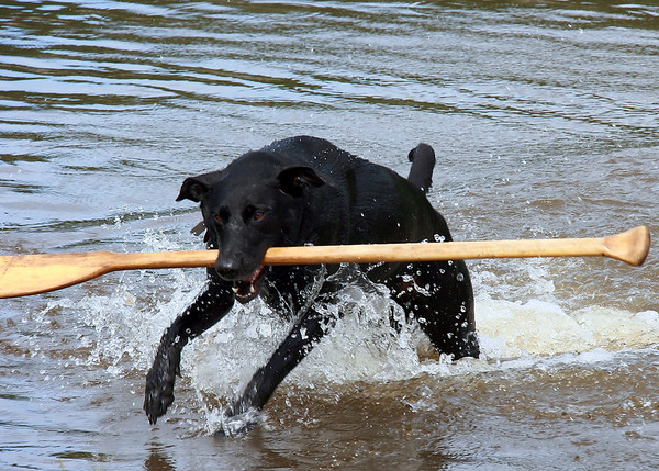 """Maggie! Fetch!""  Yes, that's a canoe paddle."