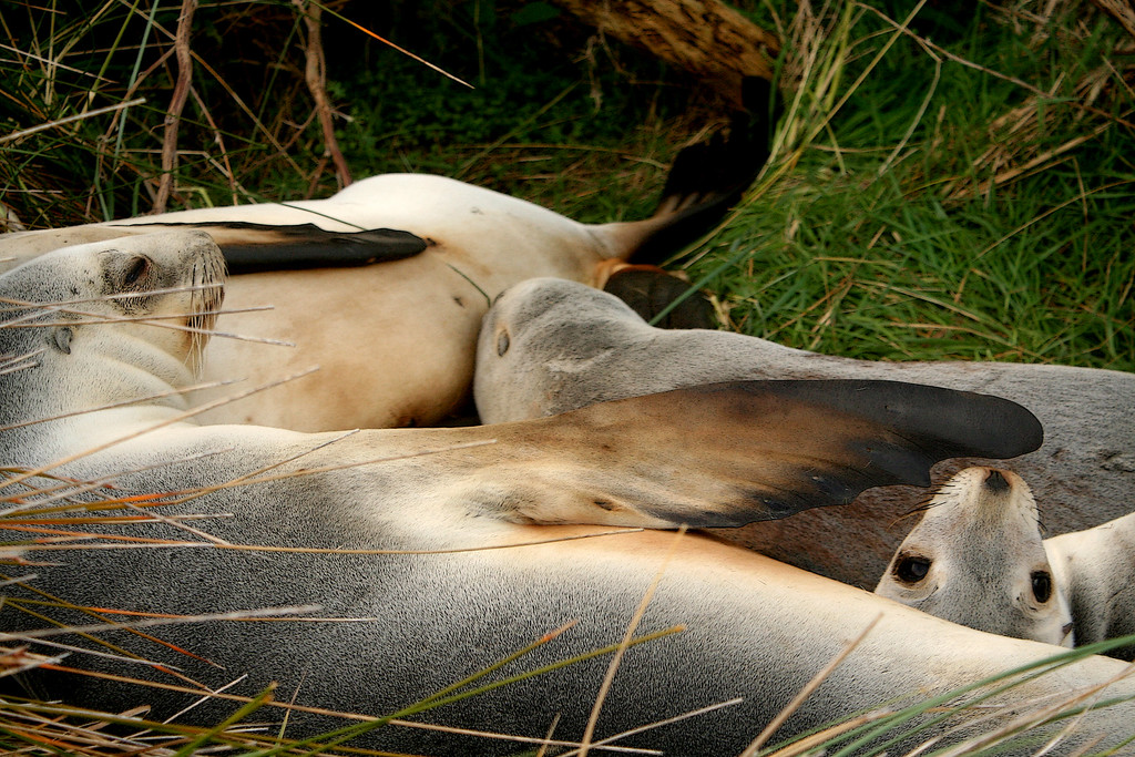 Whakahao, or New Zealand sea lions s(Phocarctos hookeri) pups nestle with mom for a nap<br /> <br /> Otago Peninsula, New Zealand