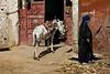 Donkey - Egypt