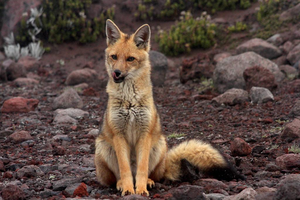 A culpeo (Lycalopex culpaeus), or Andean fox, eyes a meal<br /> <br /> Chimborazo, Ecuador