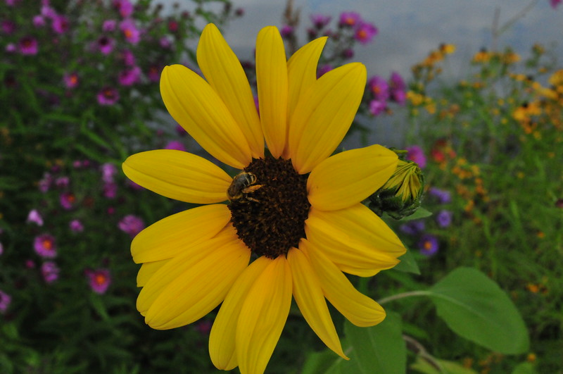 Bee and Black-eyed Susan, Kathryn Albertson Park, September 2008