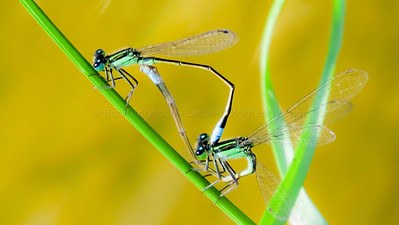 Big Eye Damselfly