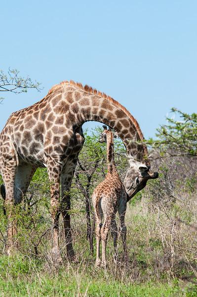 Giraffe Hugs
