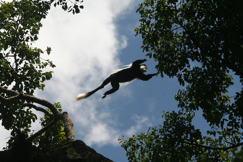 A mantled guereza (Colobus guereza) leaps for the next leaf<br /> <br /> Kibale NP, Uganda