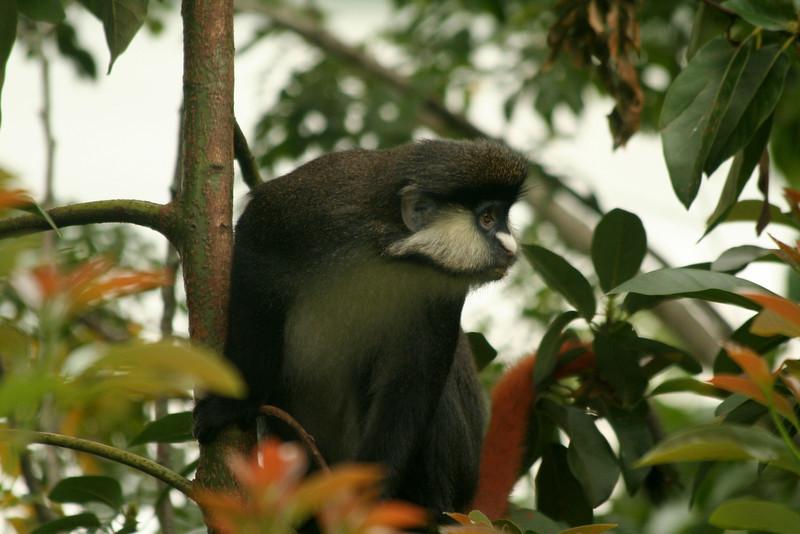 A red-tailed monkey (Cercopithecus ascanius) raids a garden<br /> <br /> Fort Portal, Uganda