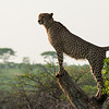 Male Cheetah_