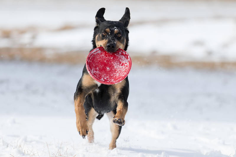 Charlie, a rescue dog, returns a snow-covered frisbee to his owner on January 28, 2017 in Council Bluffs, Iowa.