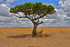 Shade in the Serengeti<br /> Tanzania