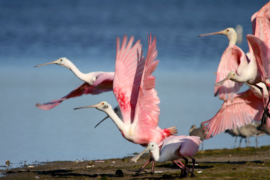 Roseate spoonbills (Platalea ajaja) head off for more shrimp<br /> <br /> Sanibel, FL