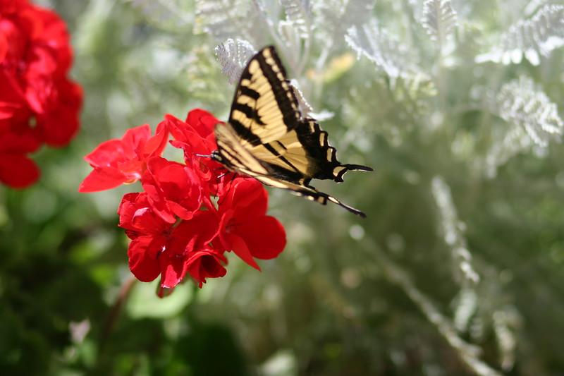 Butterfly, Boise, Idaho 2007