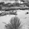 Lone yucca plant in White Sands National Monument, New Mexico