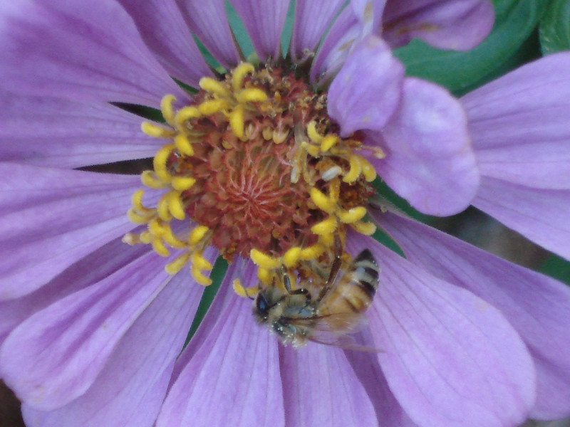 Honeybee and Zinnia