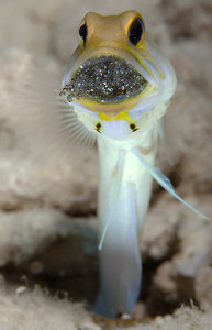 Yellowheaded Jawfish with hatching eggs, Bonaire