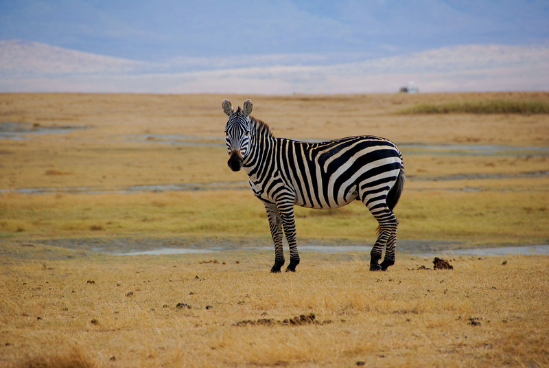 Lone Zebra, Ngorongoro Crater, Tanzania