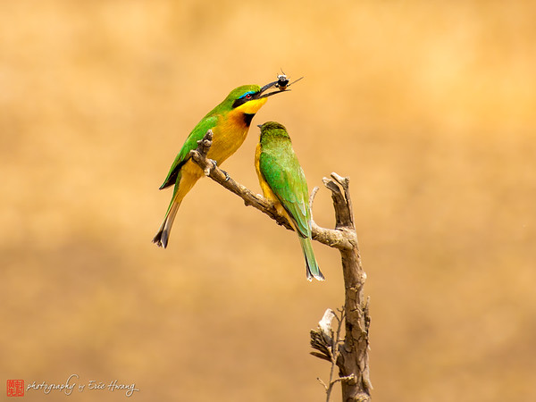 A Pair of Bee Eaters