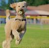 dog-photo-goldendoodle-pet-photography-action