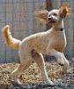 dog-photo-action-goldendoodle-pet-photography
