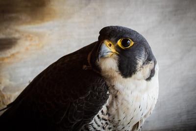 Peregrine Falcon at KU Ghent-April 10, 2014-16