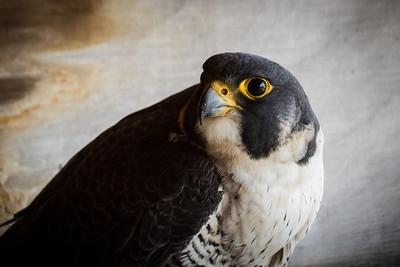 Peregrine Falcon at KU Ghent-April 10, 2014-16