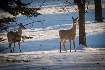 Deer in the Snow-December 10, 2013-4