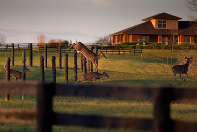 Horses and Deer on Lesprit-December 03, 2011-16