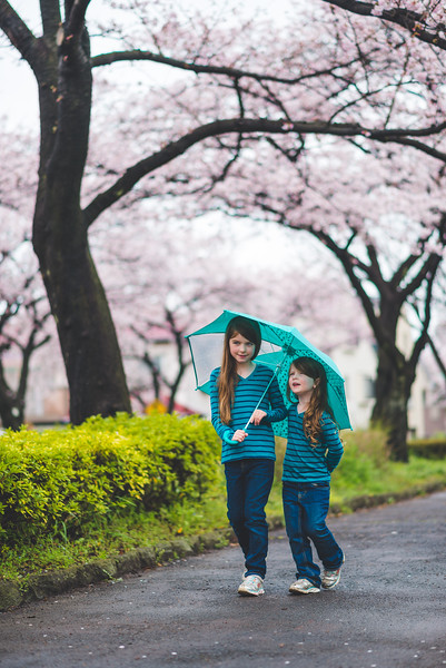 Two Girls Walk With An Umbrella Under Cherry Blossoms