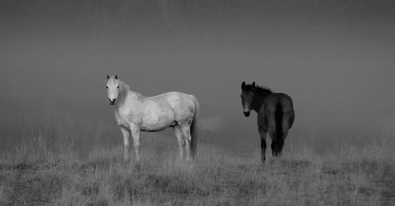 A misty morning on Orcas Island: This white Arabian might be older but still shows what makes these horses so amazing.