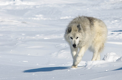 WBP_4455 #sleddogs #inuit #Quebec #snow #personality #tenacity #beauty #mansbestfriend