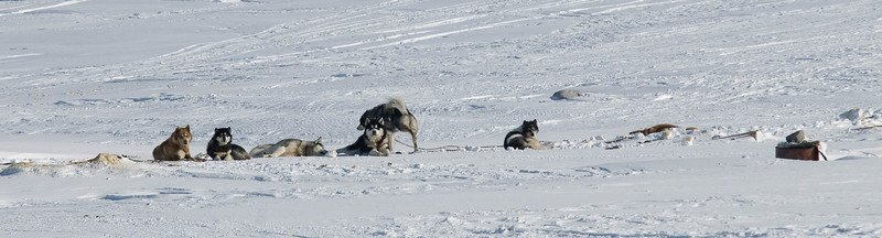 WBP_4465 #sleddogs #inuit #Quebec #snow #personality #tenacity #beauty #mansbestfriend