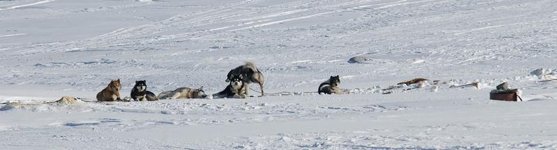WBP_4465 #sleddogs #inuit #Quebec #snow #personality #tenacity #beauty #mansbestfriend