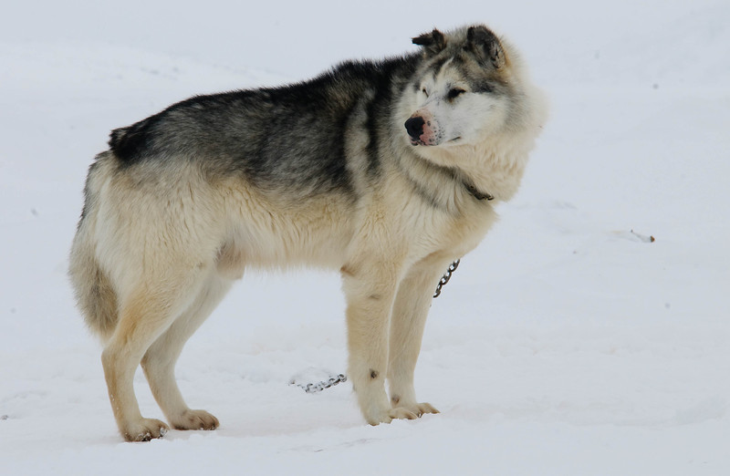 _WBP5725 #sleddogs #inuit #Quebec #snow #personality #tenacity #beauty #mansbestfriend