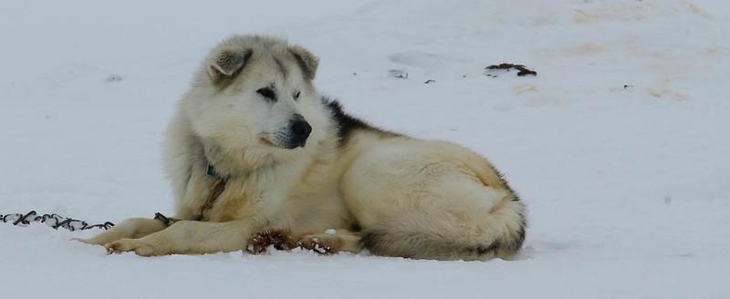 _WBP5720 #sleddogs #inuit #Quebec #snow #personality #tenacity #beauty #mansbestfriend