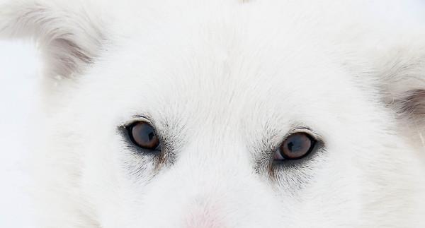 _WBP5967 #sleddogs #inuit #Quebec #snow #personality #tenacity #beauty #mansbestfriend