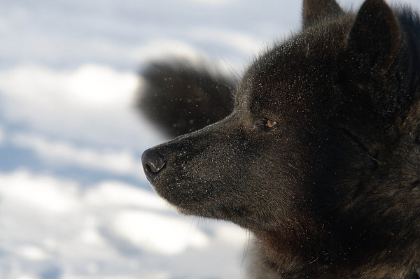 _WBP6683 #sleddogs #inuit #Quebec #snow #personality #tenacity #beauty #mansbestfriend