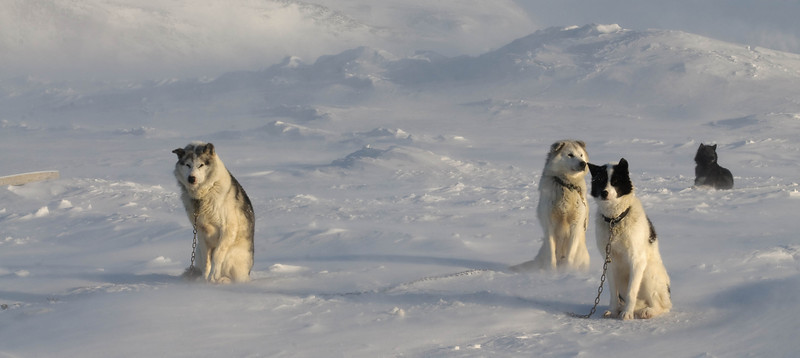 _WBP6733 #sleddogs #inuit #Quebec #snow #personality #tenacity #beauty #mansbestfriend