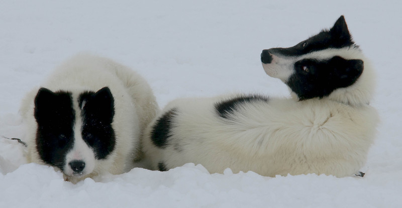 _WBP5793 #sleddogs #inuit #Quebec #snow #personality #tenacity #beauty #mansbestfriend