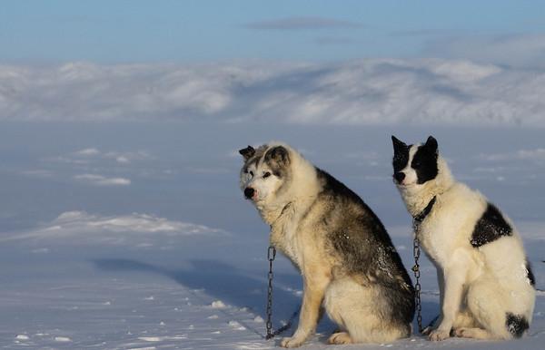_WBP6707 #sleddogs #inuit #Quebec #snow #personality #tenacity #beauty #mansbestfriend