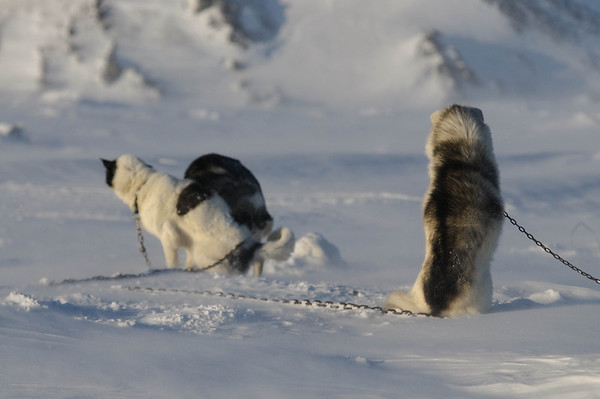 _WBP6699 #sleddogs #inuit #Quebec #snow #personality #tenacity #beauty #mansbestfriend