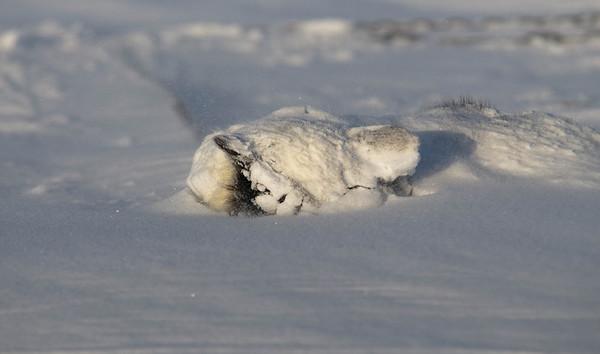 Sleeping in. #sleddogs #inuit #Quebec #snow #personality #tenacity #beauty #mansbestfriend