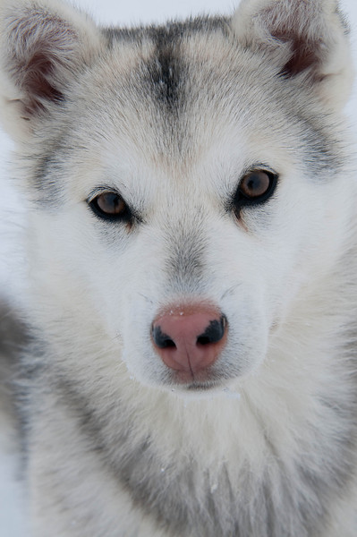 _WBP5893 #sleddogs #inuit #Quebec #snow #personality #tenacity #beauty #mansbestfriend