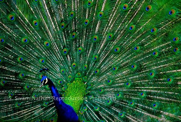 Wild Peacock, Corralitos, CA,
