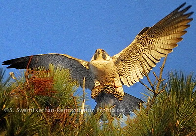 Falcon, Seacliff Beach, Aptos, CA