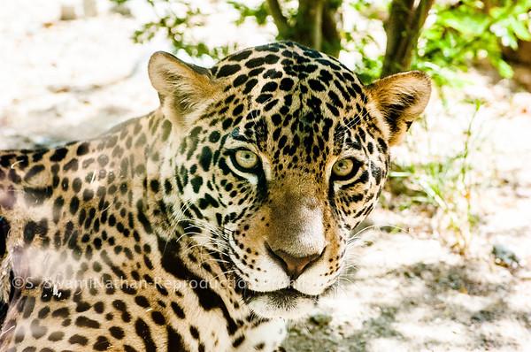 Cougar, Palm Desert, CA
