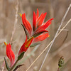 July 31: Indian Paintbrush in the Marin headlands