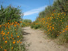 Another view of the trail lined with poppies.