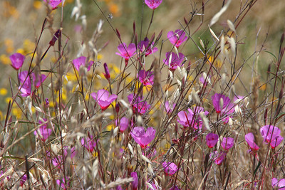 Experiments in photography: A mass of California poppies and Clarkia, getting right up close and personal. I think I like this one better than the previous.