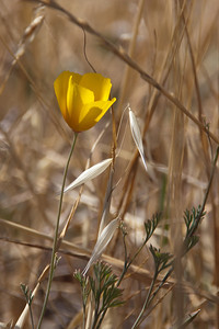 June 12: California poppy and dried oat grass, Santa Teresa Park.