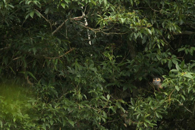 Pygathrix nigripes